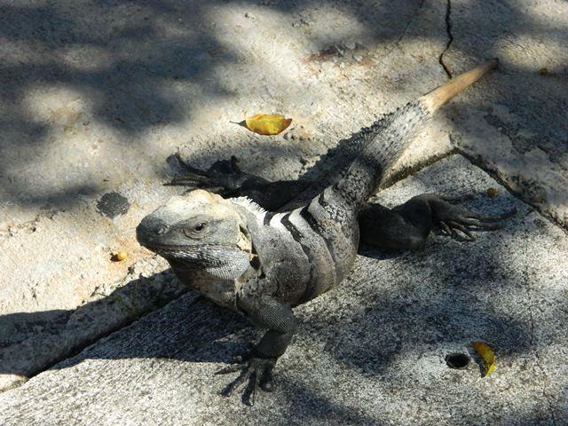 lizard at puerto aventuras mexico