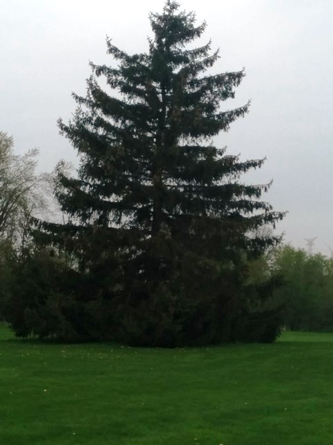 Large pine tree on our nature walk